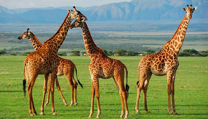 Las jirafas han entrado a la lista de animales en peligro de extinción