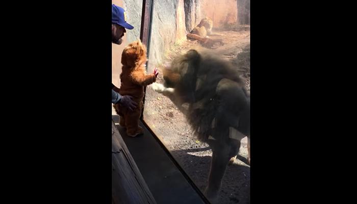 Video: Mamá lleva al Zoológico a su hijo vestido de León