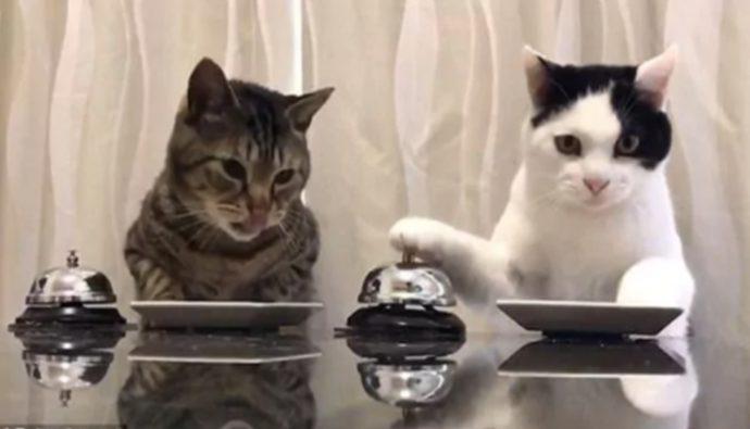 Video: Gatos tocan campana para pedirle comida al dueño