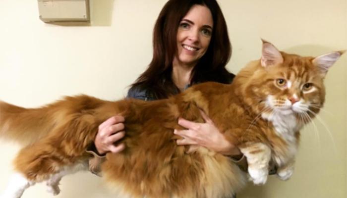 Gato impresiona con su tamaño y supera récord mundial