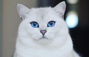 Coby es considerado el gato más hermoso del mundo