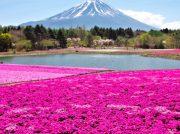 Japón se invade de color rosa cada primavera
