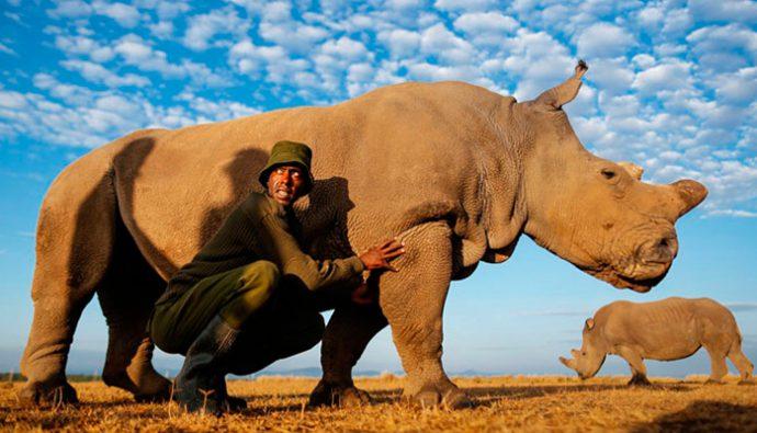 Le buscan novia en Tinder al último rinoceronte blanco del norte