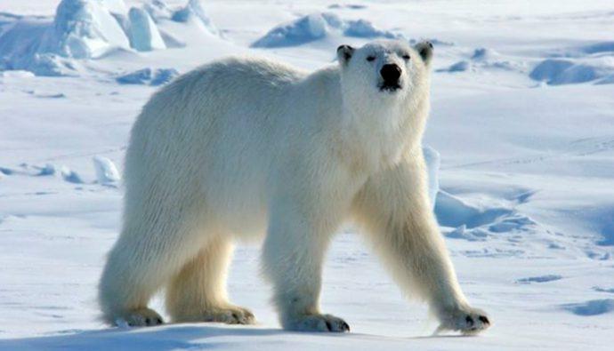 "Fotos: Oso Polar recibe a turistas al ritmo de la ""Macarena"""