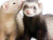 Animales Exóticos: ¿Cómo cuidar un hurón?