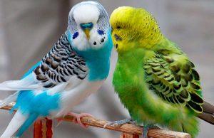 10 curiosidades los pericos australianos