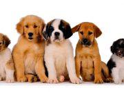 5 razas de perros ideales para terapia