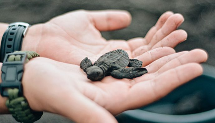 Libera una tortuga marina en Monterrico ¡Anímate a la aventura!