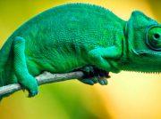 10 curiosidad de los camaleones que debes conocer