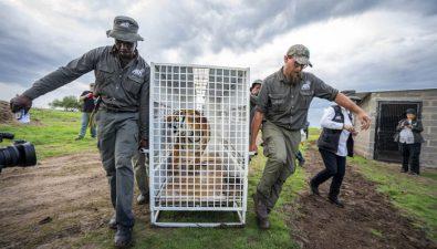 Animales de circo abusados llegan a santuario sudafricano